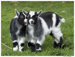Kid Goat 2 010 (Brian Gort Wildlife Photography) Tags: red white black fur kid nikon farm ngc goat newborn