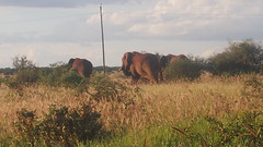 FIRST TSAVO ELEPHANT PRIDE