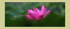 VA192A2274 (HL's Photo) Tags: plant nature botanical natural lotus  lili  blooming