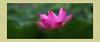 VA192A2274 (HL's Photo) Tags: plant nature botanical natural lotus 花 lili 植物 blooming 荷花 蓮花 植物園 花開
