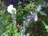 Rosh ayen flowers