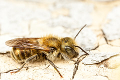 IMG_3010-1-2 (snomanda) Tags: nature animal yellow canon insect eos mason mining bee solitary invertebrate osmia mpe65mm mt24ex 5dmkii
