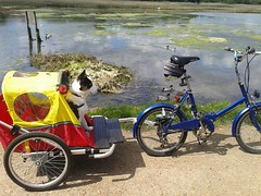 Border Collie (Mk3stargazer Isle of Wight) Tags: collie border badger isle wight