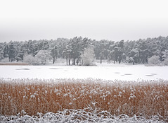 Snow on the reed beds at Frensham Little Pond, Surrey (Simon Verrall) Tags: lake snow cold reeds surrey february farnham reedbed frensham frenshamlittlepond