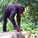 """Chimpansee • <a style=""""font-size:0.8em;"""" href=""""http://www.flickr.com/photos/128593753@N06/15916786443/"""" target=""""_blank"""">View on Flickr</a>"""
