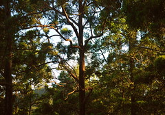 || wanna climb? || (maylasingh) Tags: sunset sky tree green girl leaves forest amber woods warm good branches australia singh goldcoast mayla