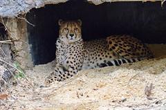 Resting Cheetah, on Explore, Best # 33 on 11/02/2015 (presbi) Tags: animals zoo felini cheetah animali bigcats cheeta ghepardo felids saariysqualitypictures