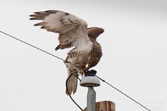Fresh from a kill, a Ferruginous Hawk cleans its talons