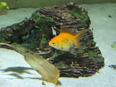 fauna abudhabi uae unitedarabemirates fishtank samhaabudhabi zoo zoologicalgardens emiratesparkzoo marineanimals aquaticanimals fish goldfish cyprinidae cypriniformes carassiusauratus