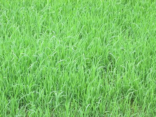 Riz, Vietnam