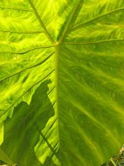 Rhuburb plant
