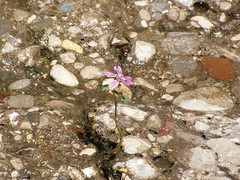 (Psinthos.Net) Tags: light sunlight nature water rock stone countryside spring day path may valley pinkflower noon pollen wildflower aftertherain purpleflower afterrain rivulet        psinthos              psinthosvalley