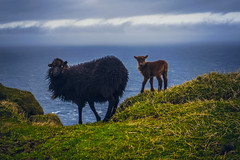 Faroe Fluff (West Leigh) Tags: ocean travel sea baby cute animal milk sheep dream adorable wanderlust explore pasture experience lamb faroeislands wander discover travelphotography
