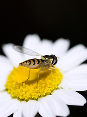 Hoverfly by Rear Viewpoint (Johnnie Shene Photography(Thanks, 1Million+ Views)) Tags: light wild people plant flower colour macro nature floral animal vertical closeup canon bug insect lens wonder photography eos rebel living fly high flora focus kiss view angle natural image outdoor no wildlife rear 11 depthoffield full daisy flies theme resting magnified awe length tamron 90mm viewpoint effect f28 adjustment freshness hoverfly  foreground hover t3i x5 diptera organism behaviour perching fragility   600d