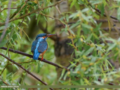 Common Kingfisher (Alcedo atthis) (gilgit2) Tags: pakistan birds fauna canon geotagged wings wildlife feathers tags location species tamron category yasin avifauna hundar alcedoatthis commonkingfisheralcedoatthis gilgitbaltistan imranshah canoneos7dmarkii tamronsp150600mmf563divcusd gilgit2