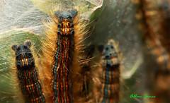 Tent caterpillars close up (Allan Jones Photographer) Tags: caterpillars tentcaterpillars canonef100mmf28lmacroisusm canon5d3 macroofcaterpillars