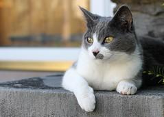 Neighbor Kitty 2 (rachel.odonnell_3) Tags: white cat pose hair fur grey kitty neighborhood short