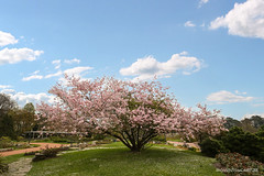 Hanami (oncle_john) Tags: canon 5d arbre hanami cerisier mk3 mark3 5d3 onclejohn momentsdecapture