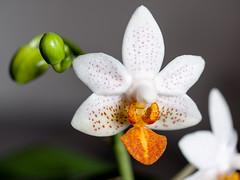 2016-02-20 Phalaenopsis Mini Mark (CatherineByTheSea) Tags: flower macro orchids phalaenopsis phalminimark