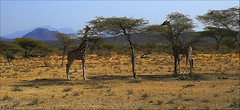 Jirafas reticuladas (antoniocamero21) Tags: africa color foto minolta paisaje animales kenia aberdares jirafas mamferos reticuladas