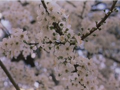 film. (eunoia ecoas) Tags: trees light white tree film nature beautiful beauty analog dark spring soft solitude minolta blossoms peaceful poetic ethereal nostalgic dreamy delicate expired simple gentle melancholic eunoia ecoas