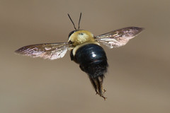 carpenter bee 5-8-2016-2 (Scott Alan McClurg) Tags: white abstract macro art nature bug insect fly flying flight bee carpenter naturephotography carpenterbee