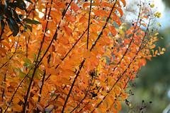 Autumn colour (crafty1tutu (Ann)) Tags: autumn orange plant abstract texture leaves gold outdoor depthoffield foliage anncameron autumncolour changingcolours naturethroughthelens crafty1tutu canon7dmkii canon28300lserieslens