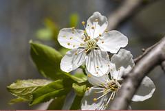 (Nickolas Titkov) Tags: cherry spring may flowering sokolniki cerasus