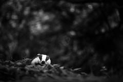 Badger (Daniel Trim) Tags: white black monochrome european badger meles