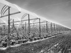 Made Landscape (enneafive) Tags: grass landscape belgium belgique belgie culture tunnel plastic raspberry borgloon