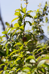 IMG_4266 (armadil) Tags: fruits fruit backyard plum plums plumtree