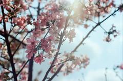 000083360007 (waychen_c) Tags: flower film canon kodak 桜 cherryblossom sakura a1 櫻 サクラ colorplus200 昭和櫻