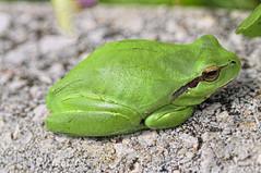 Ranita de San Antonio (C.Frayle) Tags: naturaleza rana follaje extremadura caceres macrofotografa abadia anfibio hylaarborea ranitadesanantonio