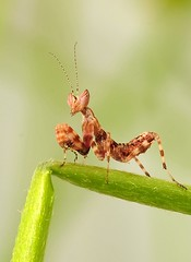 Creobroter spec. (Celimaniac) Tags: macro mantis insect prayingmantis mantide gottesanbeterin fangschrecke nikond3s creobroterspec