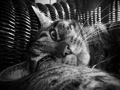 Catnap (chicitoloco) Tags: catnap gato gata neko katze kater nickerchen