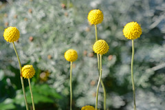 Drumstick (qooh88) Tags: yellow ball flowerbed drumstick asteraceae perennial     cultivar asteroideae  craspedia      craspediaglobosa