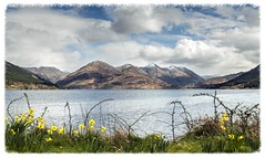 The Five Sisters April 2016 (Katybun of Beverley) Tags: mountain clouds landscape scotland highlands scenery scenic scene ridge daffodils fivesisters kintail westhighlands lochduich