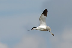 Avocet, RPSB Blacktoft Sands (JR Studio) Tags: bird river yorkshire flight trent pied ouse humber wetland reedbed avocet ynu eastyorkshire blacktoftsands recurvirostra avosetta rpsb