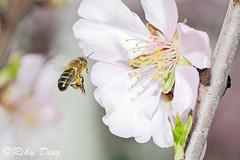 Abejas (Riky Diaz) Tags: naturaleza flores insectos macro polen miel polinizar