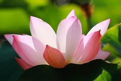 IMG_2719M  Lotus. 蓮. (陳炯垣) Tags: