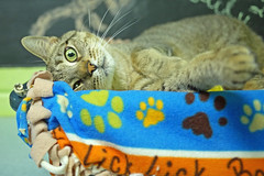 Joey_03 (AbbyB.) Tags: rescue pet cat newjersey feline shelter adopt adoptable shelterpet petphotography easthanovernj mtpleasantanimalshelter