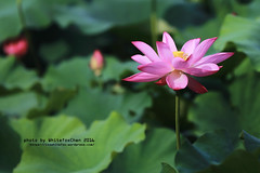 Lotus (Whitefox Chen) Tags: 6d canon canon70300mm taiwan taipei flower lotus