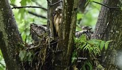 Hawks on Nest_6037ce (Porch Dog) Tags: bird nature kentucky wildlife feathers fx avian 2016 garywhittington nikond750 nikon200500mm