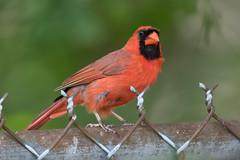 _D2_8626.jpg (rdelonga) Tags: cardinal cardinaliscardinalis