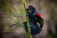 Red Wing Black Bird (J Baker Photography) Tags: red black birds florida wing wetlands clowns