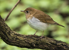 Veery (Thomas Muir) Tags: ohio lakeerie migration thrush oakharbor catharusfuscescens lucascounty mageemarsh tommuir
