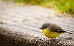 "eastern yellow robin • <a style=""font-size:0.8em;"" href=""http://www.flickr.com/photos/44919156@N00/27274897444/"" target=""_blank"">View on Flickr</a>"