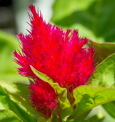 Red Flower (vernonbone) Tags: ontario macro garden lens outside backyard nikon sigma d3200 may2016 marco105mmsigma