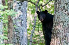 _DSC3619-2 (KewliePhotos) Tags: bear virginia nationalpark wildlife bears shenandoah shenandoahvalley blackbear blackbears shenandoahnationalpark