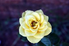 Yellow rose (derciofernando) Tags: winter shadow roses flower planta de flor rosa amarelo campo inverno profundidade ptala